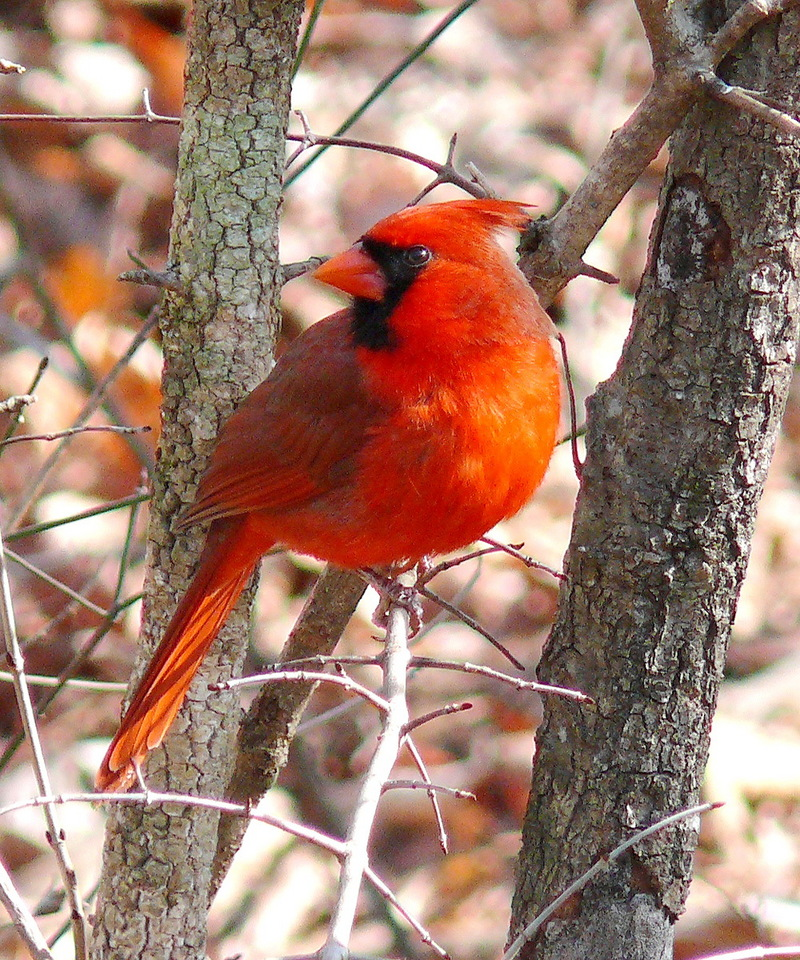 Northern Cardinal (Cardinalis cardinalis) - wiki; DISPLAY FULL IMAGE.