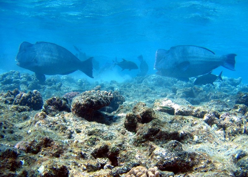 Green Humphead Parrotfish (Bolbometopon muricatum) - wiki; DISPLAY FULL IMAGE.
