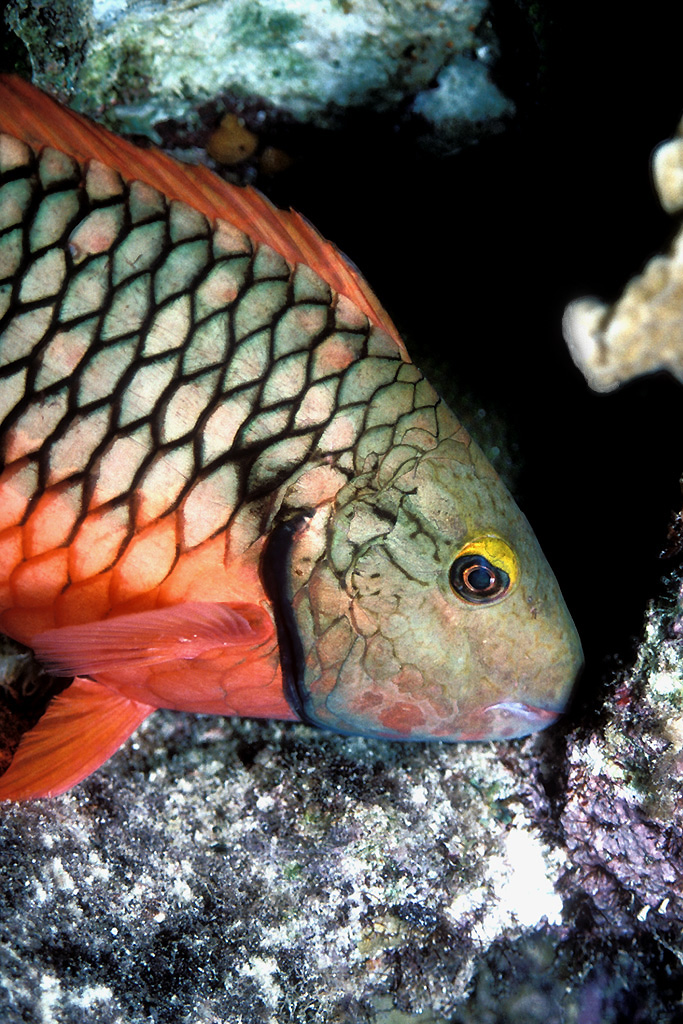 Stoplight parrotfish, Sparisoma viride, female; Image ONLY