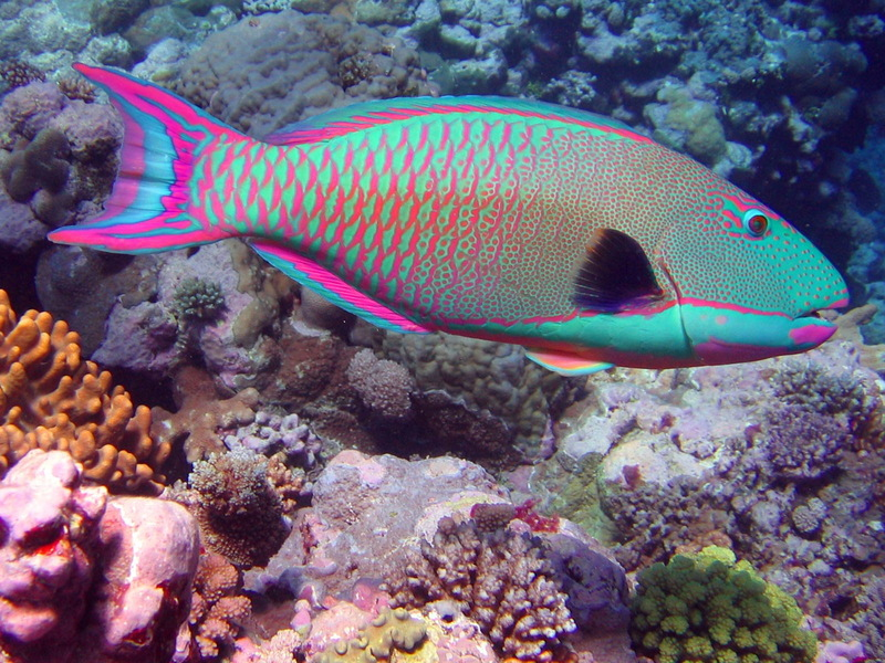 Bicolor parrotfish (Cetoscarus bicolor) male; DISPLAY FULL IMAGE.