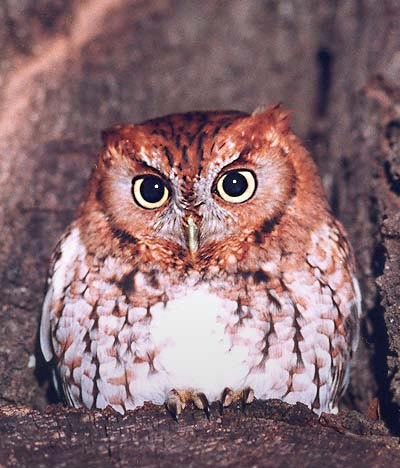 Eastern Screech Owl (Megascops asio) - wiki; Image ONLY