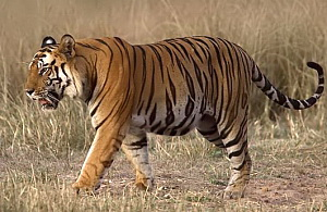 Royal Bengal Tiger (Panthera tigris tigris) - wiki; Image ONLY