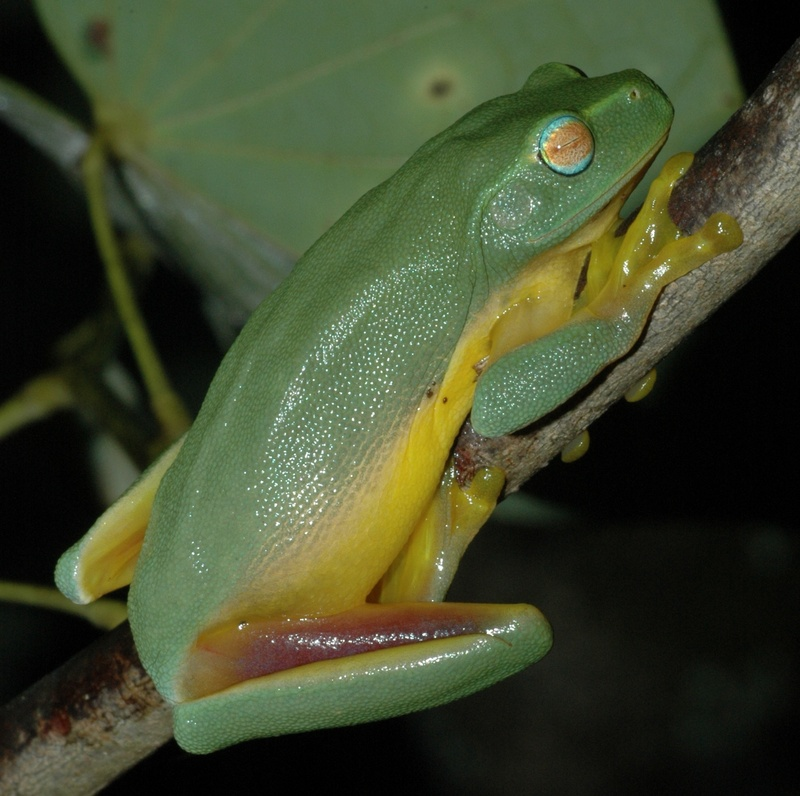 Dainty Green Treefrog (Litoria gracilenta) - wiki; DISPLAY FULL IMAGE.