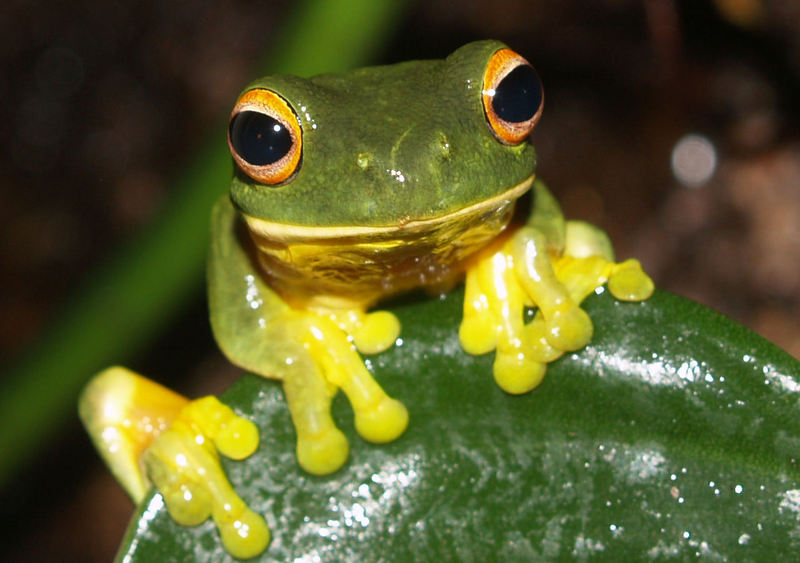 Orange-thighed Frog (Litoria xanthomera) - wiki; DISPLAY FULL IMAGE.