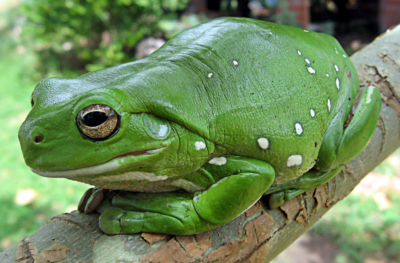 Australian Green Treefrog (Litoria caerulea) - wiki; DISPLAY FULL IMAGE.