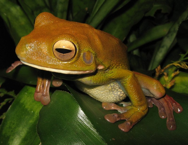 White-lipped Treefrog (Litoria infrafrenata) - wiki; DISPLAY FULL IMAGE.