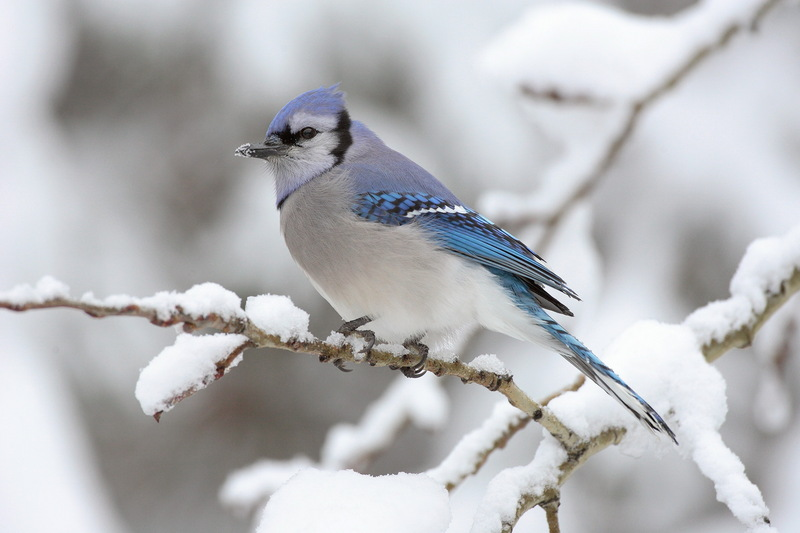 Blue Jay (Cyanocitta cristata) - wiki; DISPLAY FULL IMAGE.