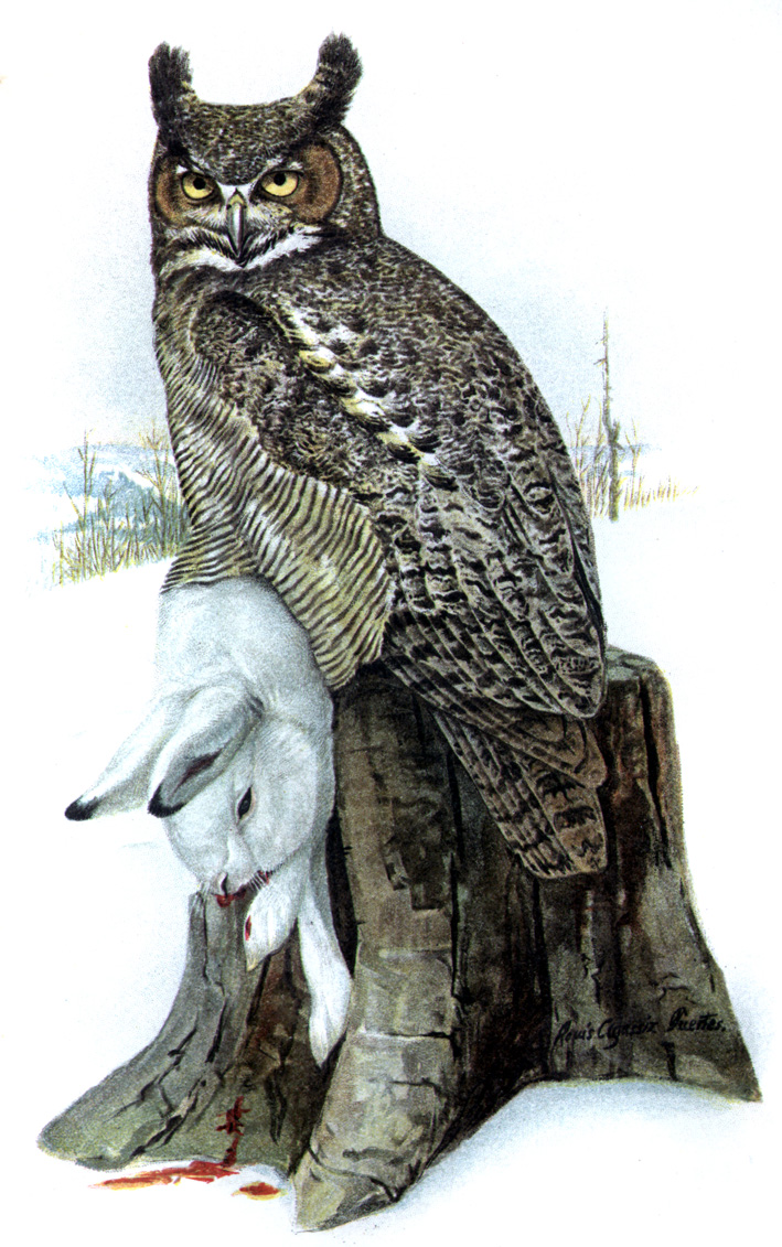 Eagle-Owl / Horned Owl (Genus Bubo) - Wiki; Image ONLY