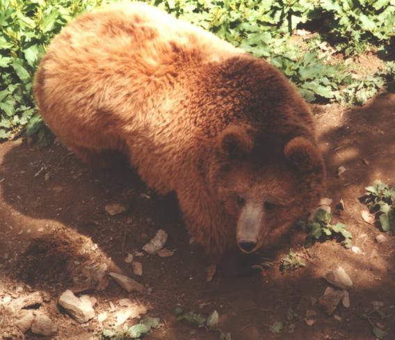 Himalayan Brown Bear (Ursus arctos isabellinus) - Wiki ... Himalayan Brown Bear Yeti