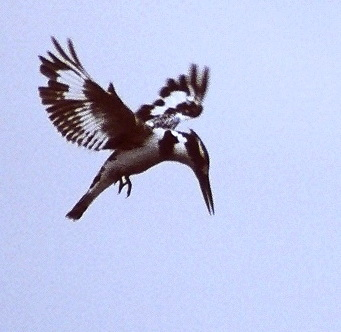Pied Kingfisher (Ceryle rudis) hovering; Image ONLY