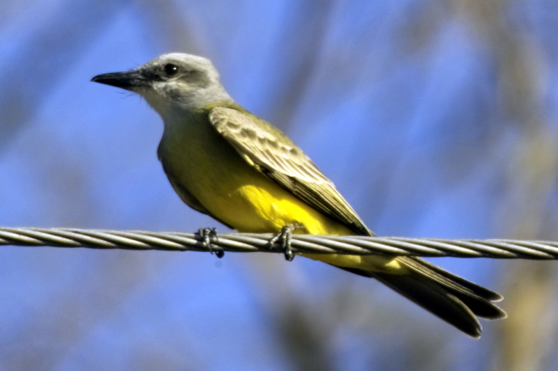 Tropical Kingbird (Tyrannus melancholicus) - wiki; DISPLAY FULL IMAGE.