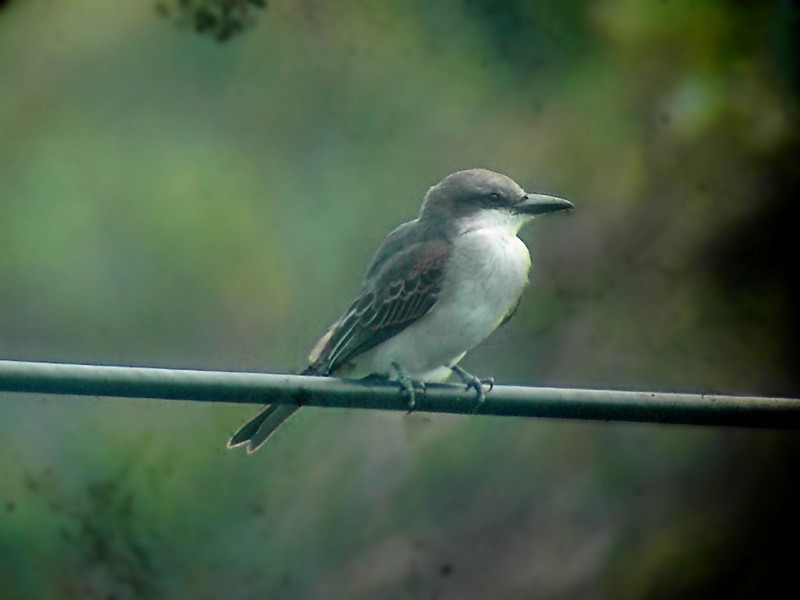 Gray Kingbird (Tyrannus dominicensis) - wiki; DISPLAY FULL IMAGE.