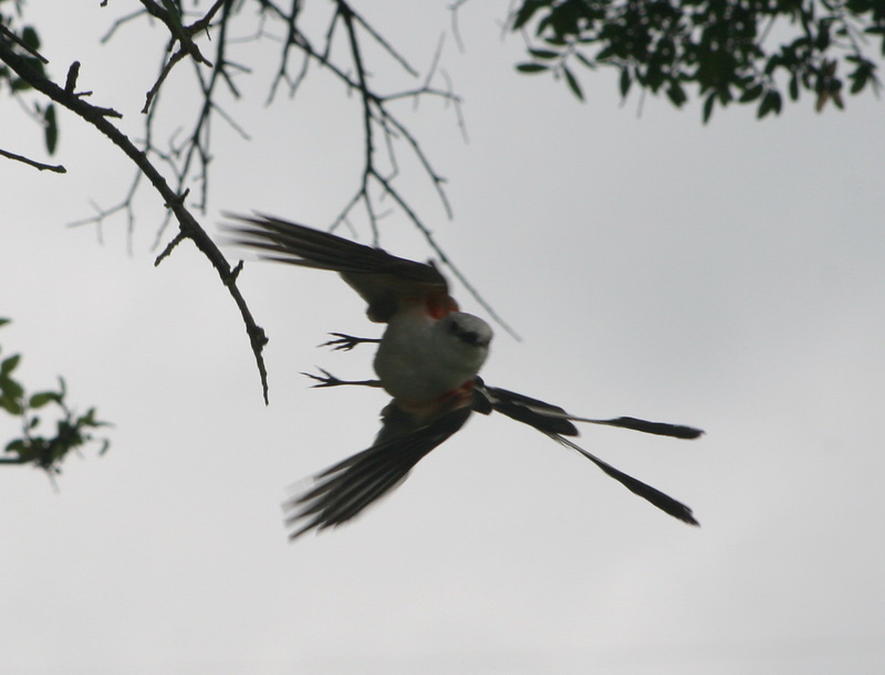 Scissor-tailed Flycatcher (Tyrannus forficatus) - wiki; DISPLAY FULL IMAGE.