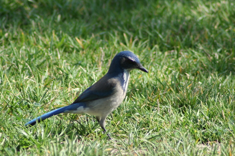 Western Scrub-jay (Aphelocoma californica) - wiki; DISPLAY FULL IMAGE.