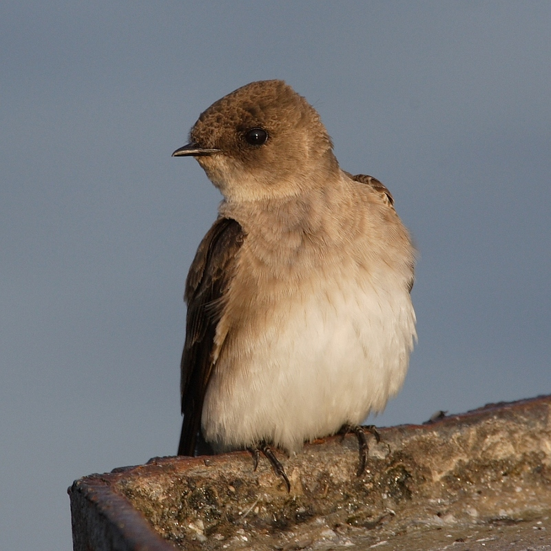 Northern Rough-winged Swallow (Stelgidopteryx serripennis) - wiki; DISPLAY FULL IMAGE.