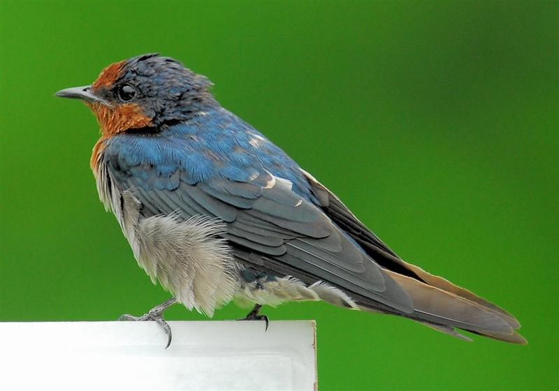Pacific Swallow (Hirundo tahitica) - wiki; DISPLAY FULL IMAGE.