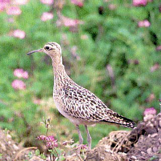 Little Curlew (Numenius minutus) - wiki; Image ONLY