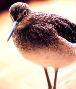 Short-billed Dowitcher (Limnodromus griseus) - wiki; Image ONLY