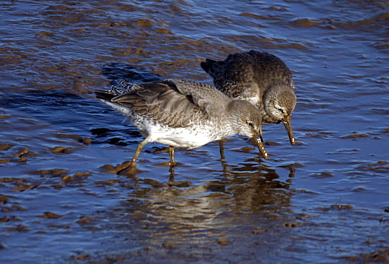 Red Knot (Calidris canutus) - wiki; Image ONLY