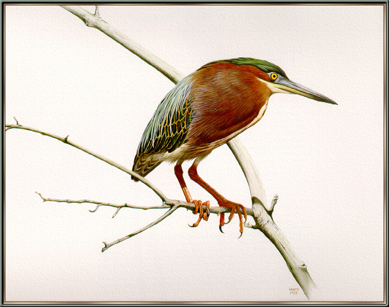 Douglas Pratt -  Green-backed Heron (Art), Butorides striatus; Image ONLY