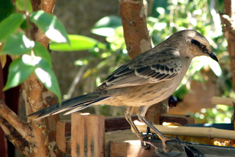 Chalk-browed Mockingbird (Mimus saturninus) - Brazil; DISPLAY FULL IMAGE.