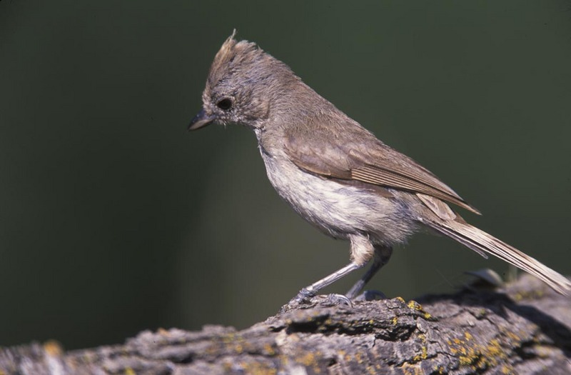 Oak Titmouse (Baeolophus inornatus) - wiki; DISPLAY FULL IMAGE.