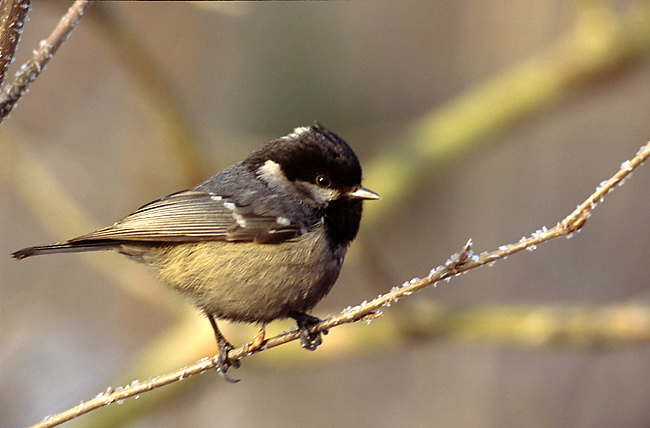 Coal Tit (Periparus ater) - wiki; Image ONLY