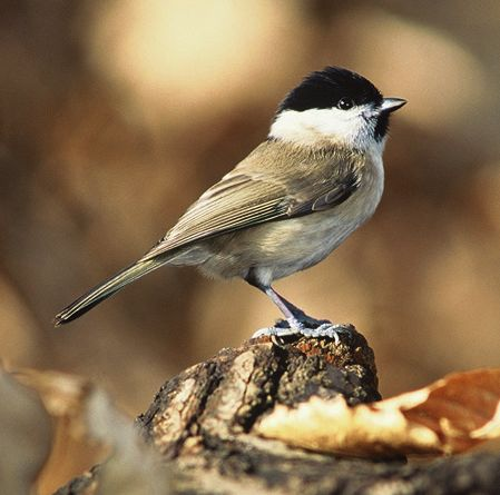 Marsh Tit (Poecile palustris) - wiki; Image ONLY