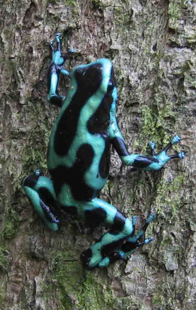 Green-and-Black Poison Dart Frog (Dendrobates auratus) - Wiki; Image ONLY
