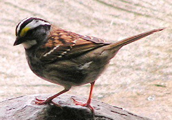 White-throated Sparrow (Zonotrichia albicollis) - Wiki; Image ONLY