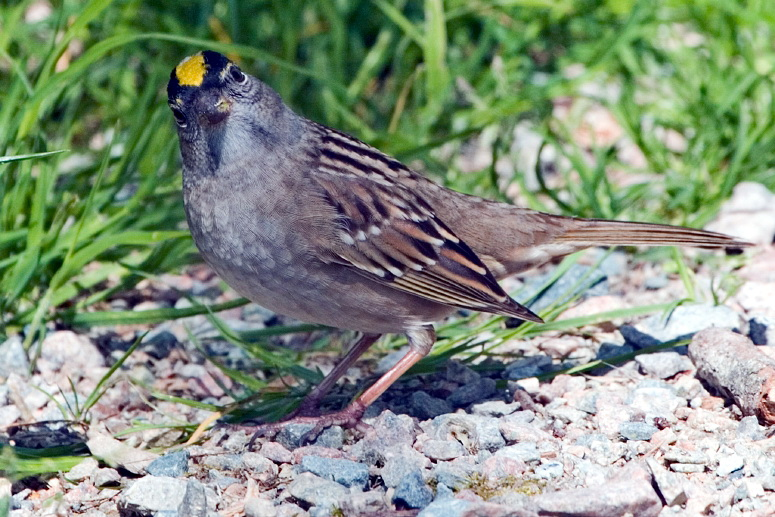 Golden-crowned Sparrow (Zonotrichia atricapilla) - Wiki; Image ONLY
