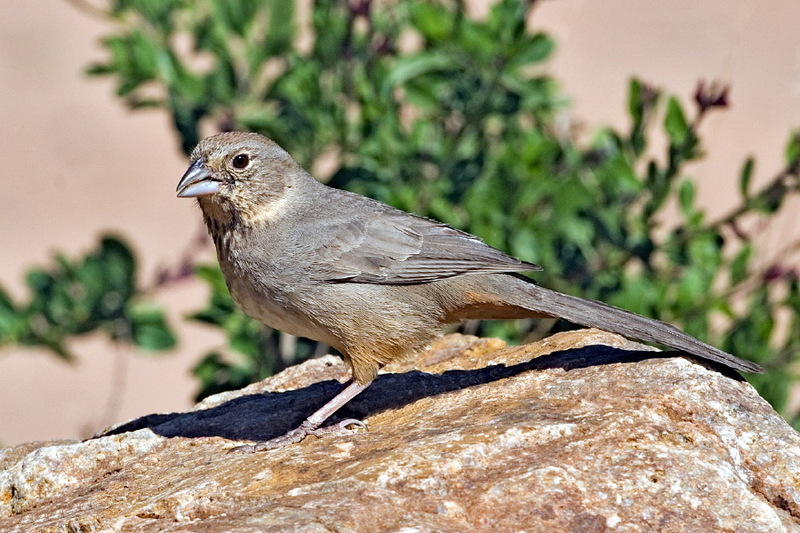 Canyon Towhee, Brown Towhee (Pipilo fuscus) - Wiki; DISPLAY FULL IMAGE.