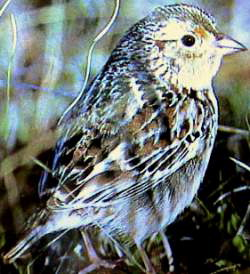 Grasshopper Sparrow (Ammodramus savannarum) - Wiki; Image ONLY