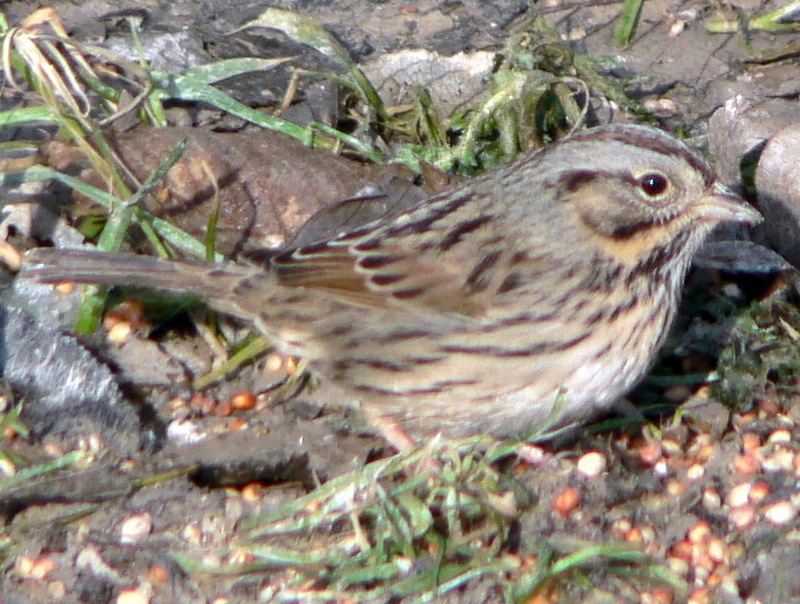 Lincoln's Sparrow (Melospiza lincolnii) - Wiki; DISPLAY FULL IMAGE.