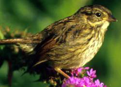 Swamp Sparrow (Melospiza georgiana) - Wiki; Image ONLY