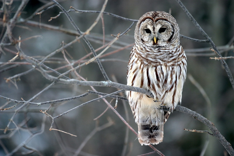 Barred Owl (Strix varia) - Wiki; DISPLAY FULL IMAGE.