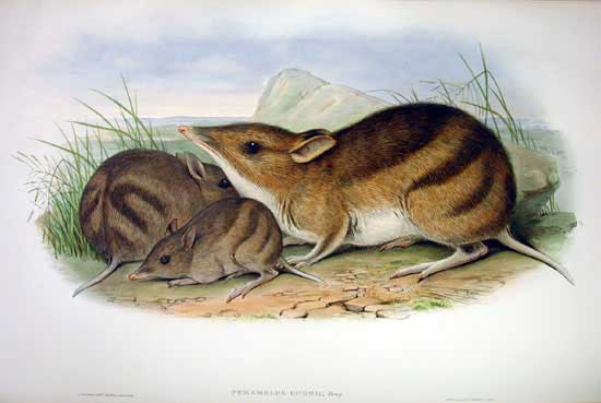 Eastern Barred Bandicoot (Perameles gunni) - Wiki; Image ONLY