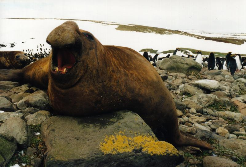 Mirounga leonina male-Southern Elephant Seal (Mirounga leonina).jpg