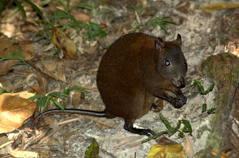 Musky Rat-kangaroo (Hypsiprymnodon moschatus) - Wiki <!--사향쥐캥거루-->; DISPLAY FULL IMAGE.