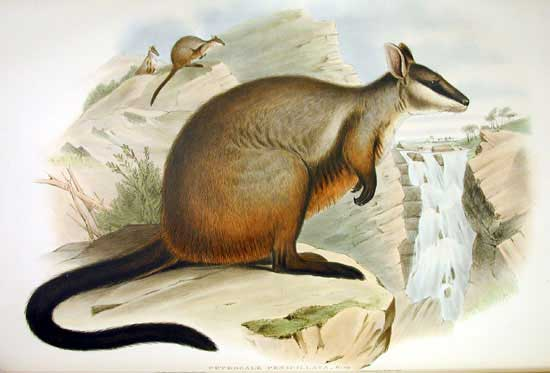 Brush-tailed Rock-wallaby (Petrogale penicillata) - Wiki <!--붓꼬리바위왈라비-->; Image ONLY