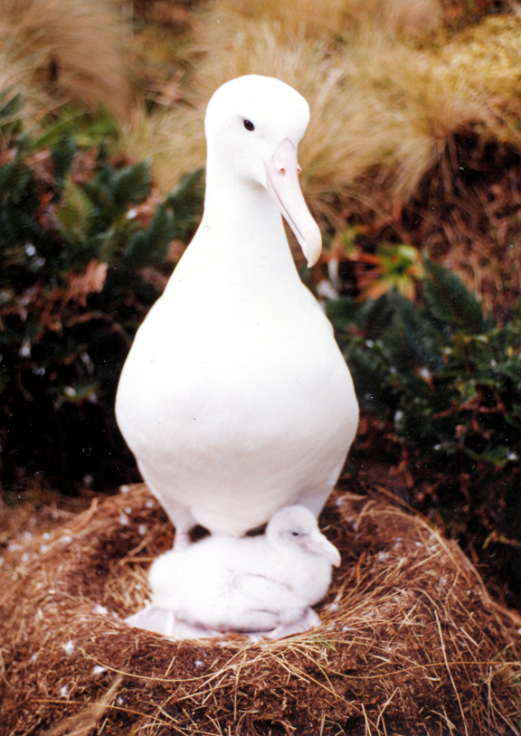 Southern Royal Albatross (Diomedea epomophora) with chick; Image ONLY