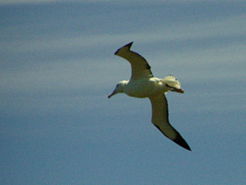 Northern Royal Albatross (Diomedea sanfordi) - Wiki; Image ONLY