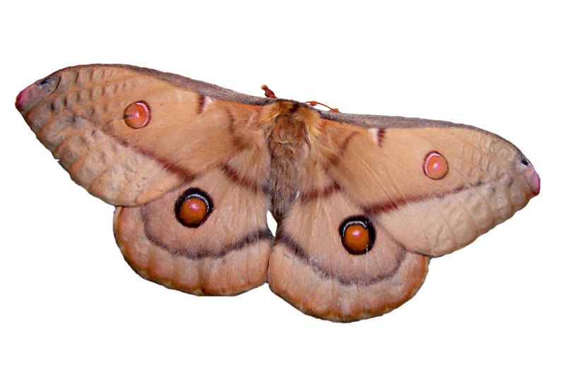 Emperor Gum-moth (Opodiphthera eucalypti) - Wiki; DISPLAY FULL IMAGE.