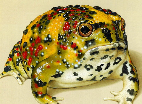 Holy Cross Frog (Notaden bennettii) - Wiki; Image ONLY