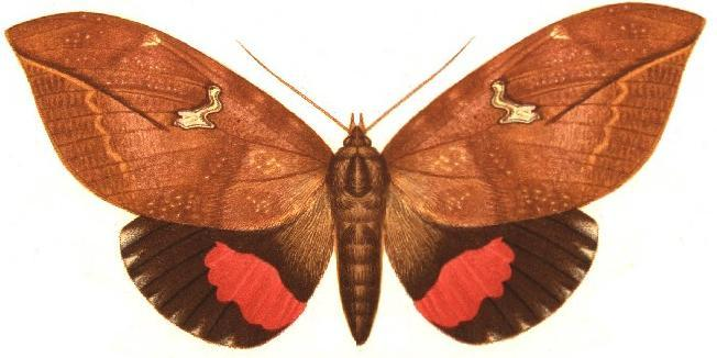 imper7 Pink Underwing Moth (Phyllodes imperialis).jpg