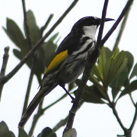 White-cheeked Honeyeater (Phylidonyris nigra) - Wiki; Image ONLY