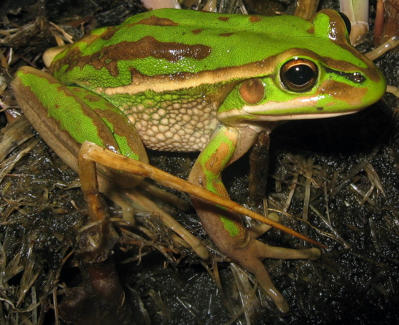 Green and Golden Bell Frog (Litoria aurea) - Wiki; DISPLAY FULL IMAGE.