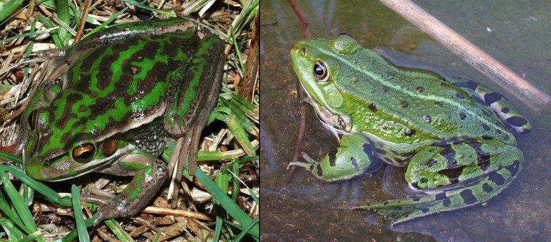 Green and Golden Bell Frog (Litoria aurea) comparison with Genus Rana; DISPLAY FULL IMAGE.