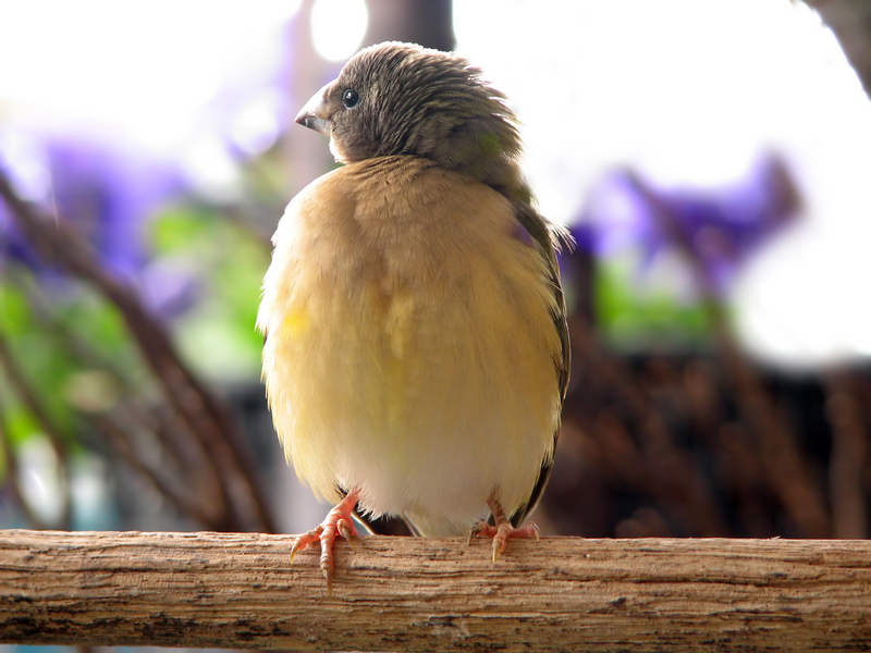 Gouldian Finch (Erythrura gouldiae) juvenile; DISPLAY FULL IMAGE.