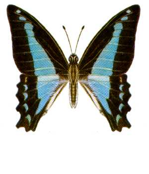 Common Bluebottle (Graphium sarpedon) - Wiki; Image ONLY